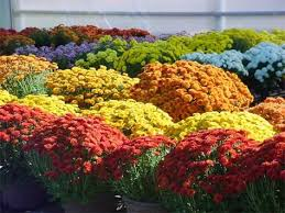 28 best mums images on pinterest fall mums flower and flower beds