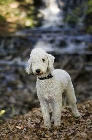 grooming a bedlington terrier puppy bedlington bedlington terrier beddies u003c3 pinterest them