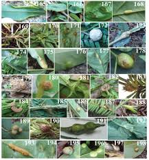 native plants of brazil insect galls of the parque nacional do itatiaia southeast region