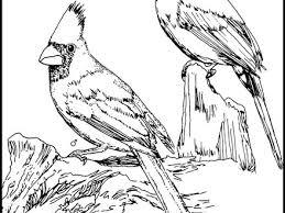 11 cardinal bird coloring page cardinal coloring page