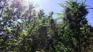 how does the color spectrum of light affect growing marijuana