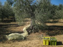 tuscany olive picking for dummies a photo guide