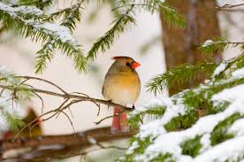 a basic guide to winter birding in canada armstrong milling wild