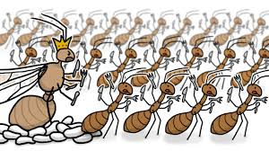 invasion of the yellow crazy ants youtube