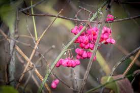 missouri native plant nursery 5 native plants that add winter interest stl tree pros