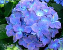 hydrangea flowers hydrangea flower meaning dictionary auntyflo
