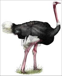 ostrich struthio camelus line art and full color illustrations