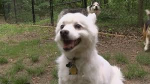american eskimo dog giving birth louisvillepurge hashtag on twitter