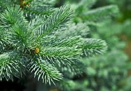 spruce needles inhabitat green design innovation