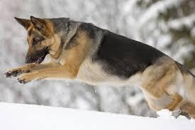 australian shepherd vs brittany the 20 best dog breeds for runners outside online