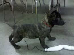 belgian malinois markings belgian malinois vs dutch shepherd ody sure has changed in 2