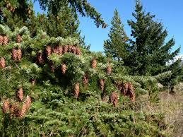 douglas fir tree britannica