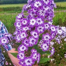 phlox flower hardy phlox goliath k bourgondiens