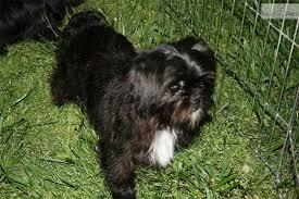 affenpinscher dogs for sale cute affenpinscher puppies puppy dog gallery