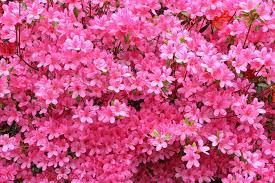 pink hydrangea flowers photo wp03066