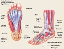 Calcaneus Anatomy Human Anatomy Diagram Human Foot Anatomy Detail Images Human