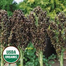 organic vegetables organic corn seeds
