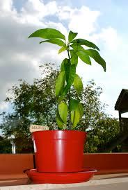 Mango Boom een heuse mini mango boom miekaatoen