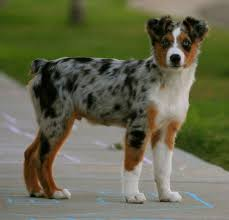 australian shepherd dog puppies australian shepherd puppies picture louisiana dog breeders guide