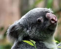 Angry Koala Meme - koala backgrounds 66