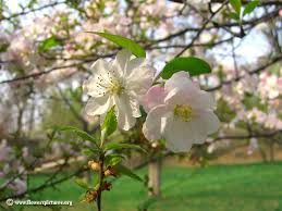 Spring Flower Pictures Apple Flower Pictures Free Apple Flower Photos