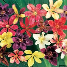 Heat Resistant Plants Park U0027s Candy Lily Seeds From Park Seed