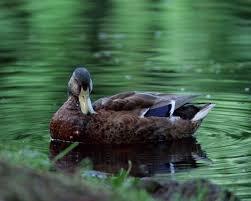 with little ducks swimming duck 52490 birds photo animal