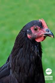 Backyard Chicken Breeds by 31 Best Australorp Chickens Images On Pinterest Chicken Breeds
