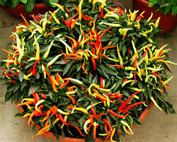 3 packs of ornamental pepper seed 1 pack 20 seeds capsicum