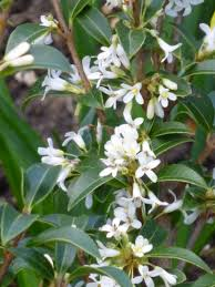 Fragrant Bedding Plants Fabulous Spring Fragrance U2013 Osmanthus X Burkwoodii U2013 And A Local