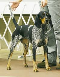 bluetick coonhound with cats bluetick coonhound history u0026 training temperament