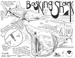 basking in history u2013 the story of b c u0027s basking sharks the