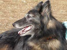 belgian shepherd tattoo tervuren dog photo belgian tervuren dog breed information