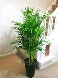 1 large evergreen office house plant indoor tree in gloss black
