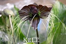black orchid flower new fresh seeds 100seeds lot black tiger orchid flowers seeds