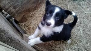 bearded collie and border collie mix 2 border collie x bearded collie pup millom cumbria pets4homes