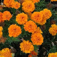 Flower Seeds Online - buy flower seeds online buy gardening seeds online shophealthy in