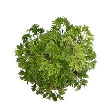 What Is Root Bridge Root Bridges Green Jade Crassula Lucky Feng Shui Plant Pot