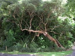 native plants nz fuchsia excorticata the world u0027s largest fuchsia is a nz native