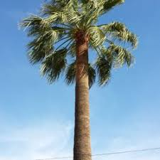 ls that look like trees first certified arbor care tree services san bernardino ca