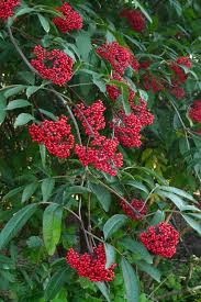 native american edible plants wild harvests red elderberry experiment 1