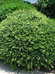 Flowering Privacy Shrubs - privacy shrubs for sale online garden goods direct