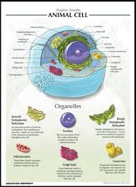 best 25 animal cell project ideas on pinterest cell model