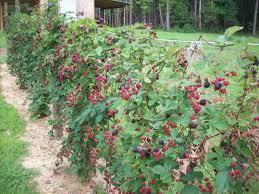 doyle u0027s thornless blackberry doyle u0027s thornless blackberry inc