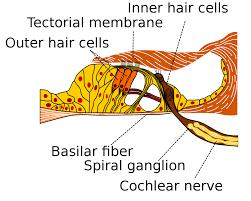 Anatomy And Physiology Ear Basilar Membrane Wikipedia