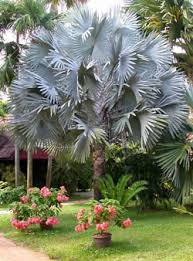 bismarckia nobilis bismarck palm can t wait until mine is this