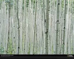 aspen bark wallpaper wallpapersafari aspen trees picture tree bark wallpaper photos download national