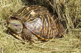 desert box turtle terrapene ornata luteola all turtles