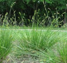 506 best plants grasses images on ophiopogon japonicus