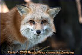 can i a pet fox wolf park s
